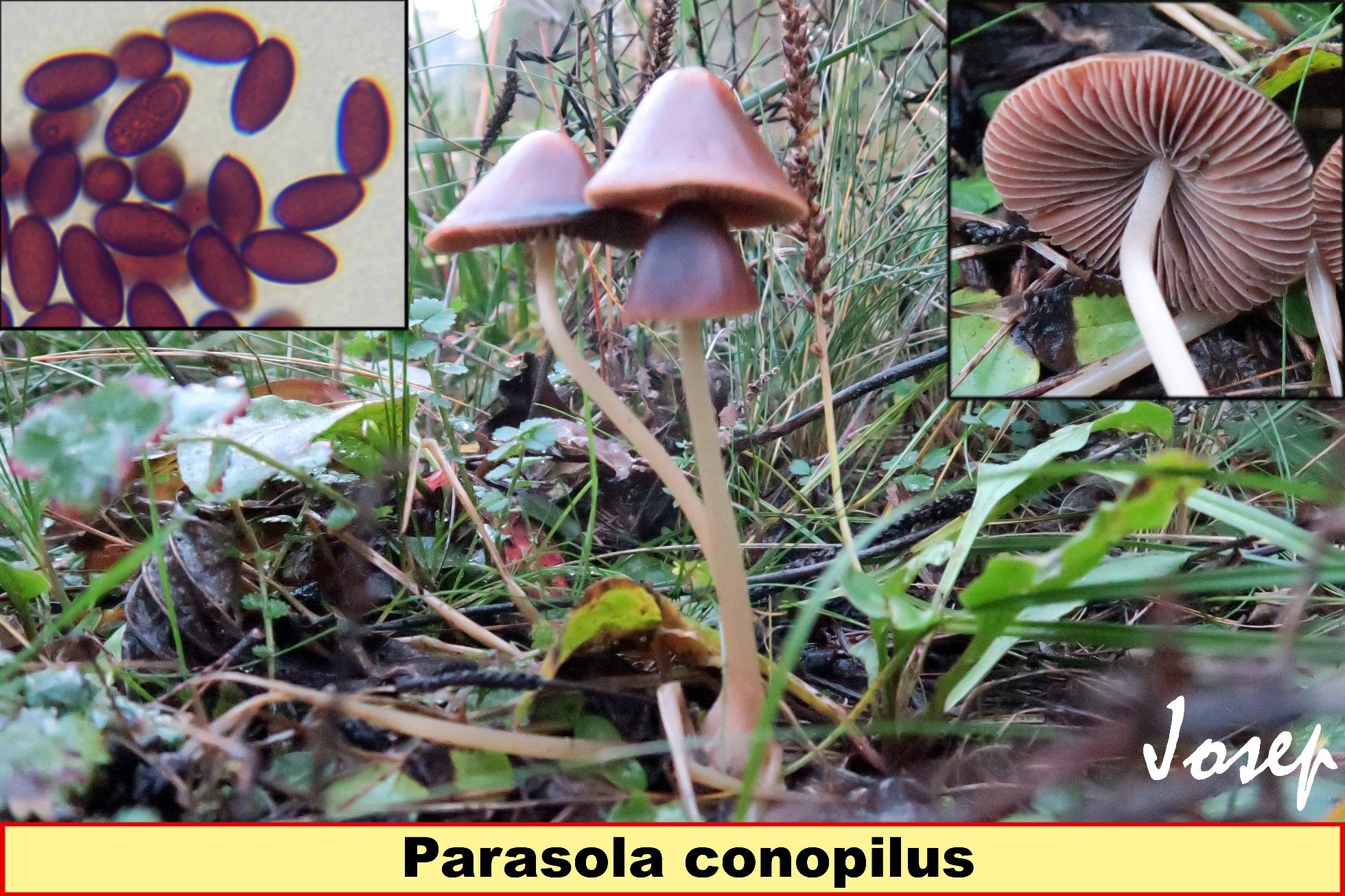 Parasolaconopilus_2017-04-07.jpg