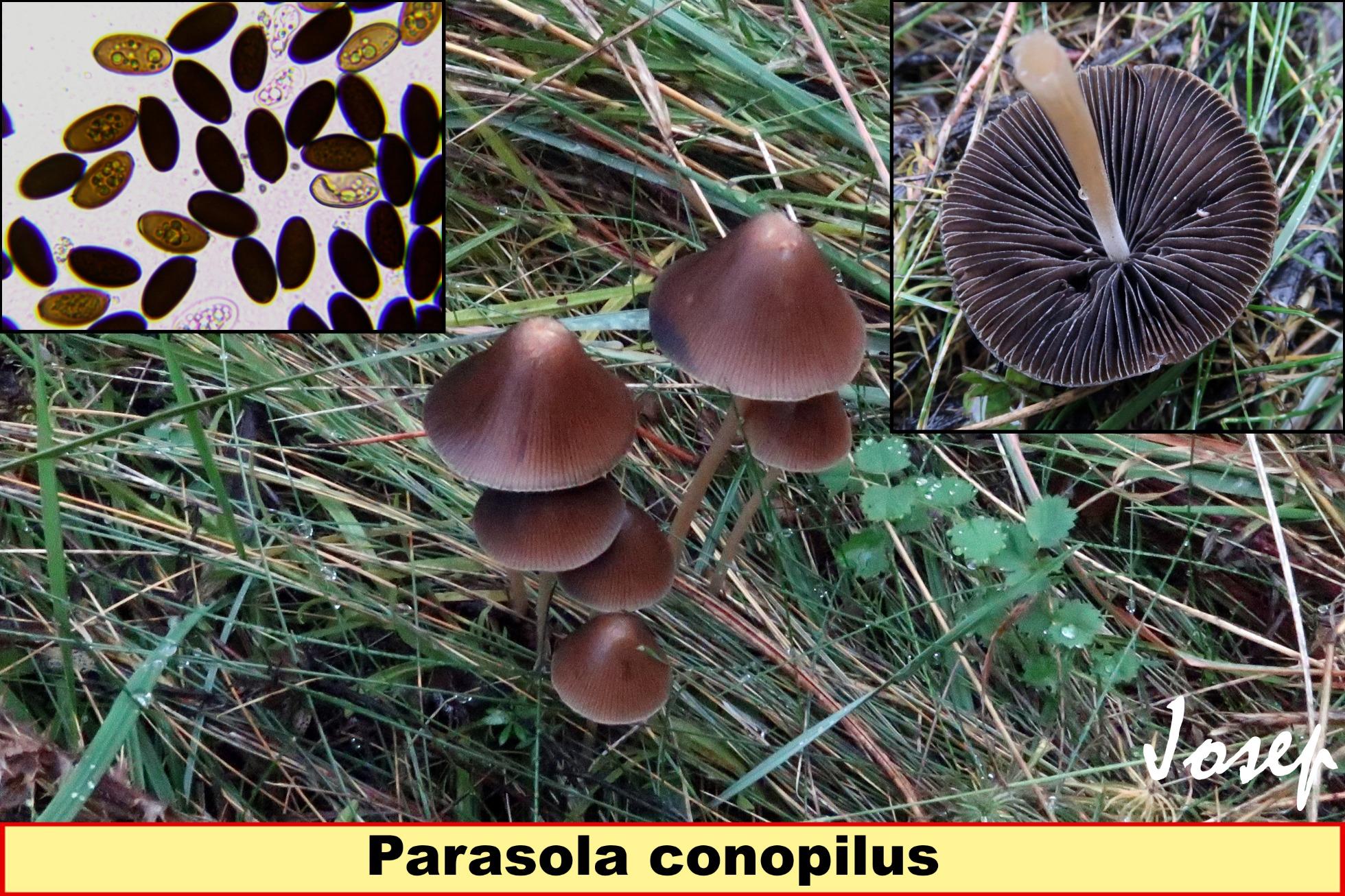Parasolaconopilus_2019-01-20.jpg