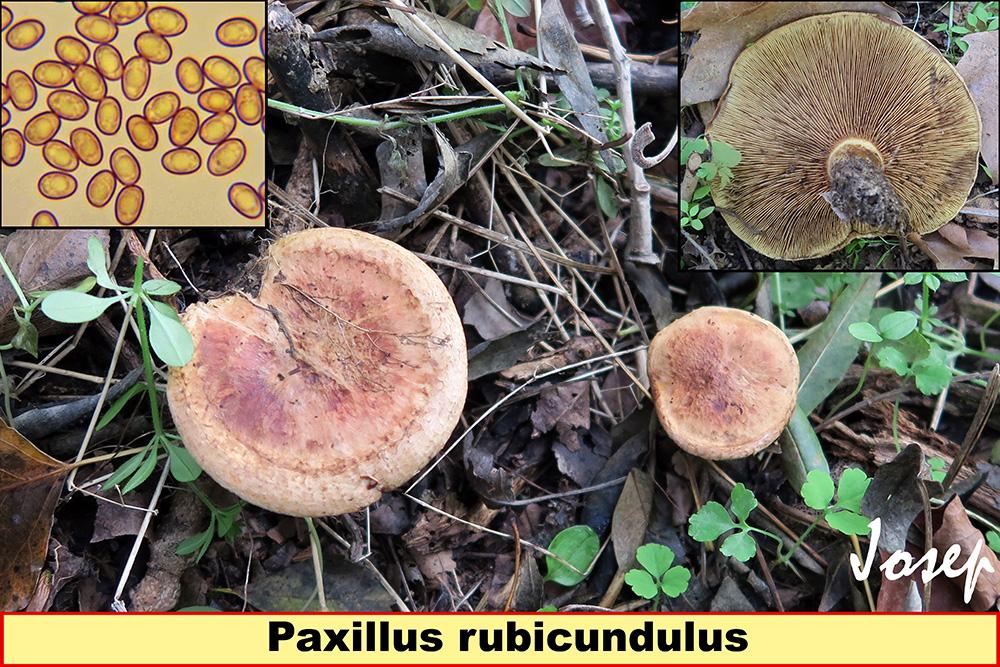 Paxillusrubicundulus_2019-10-18.jpg