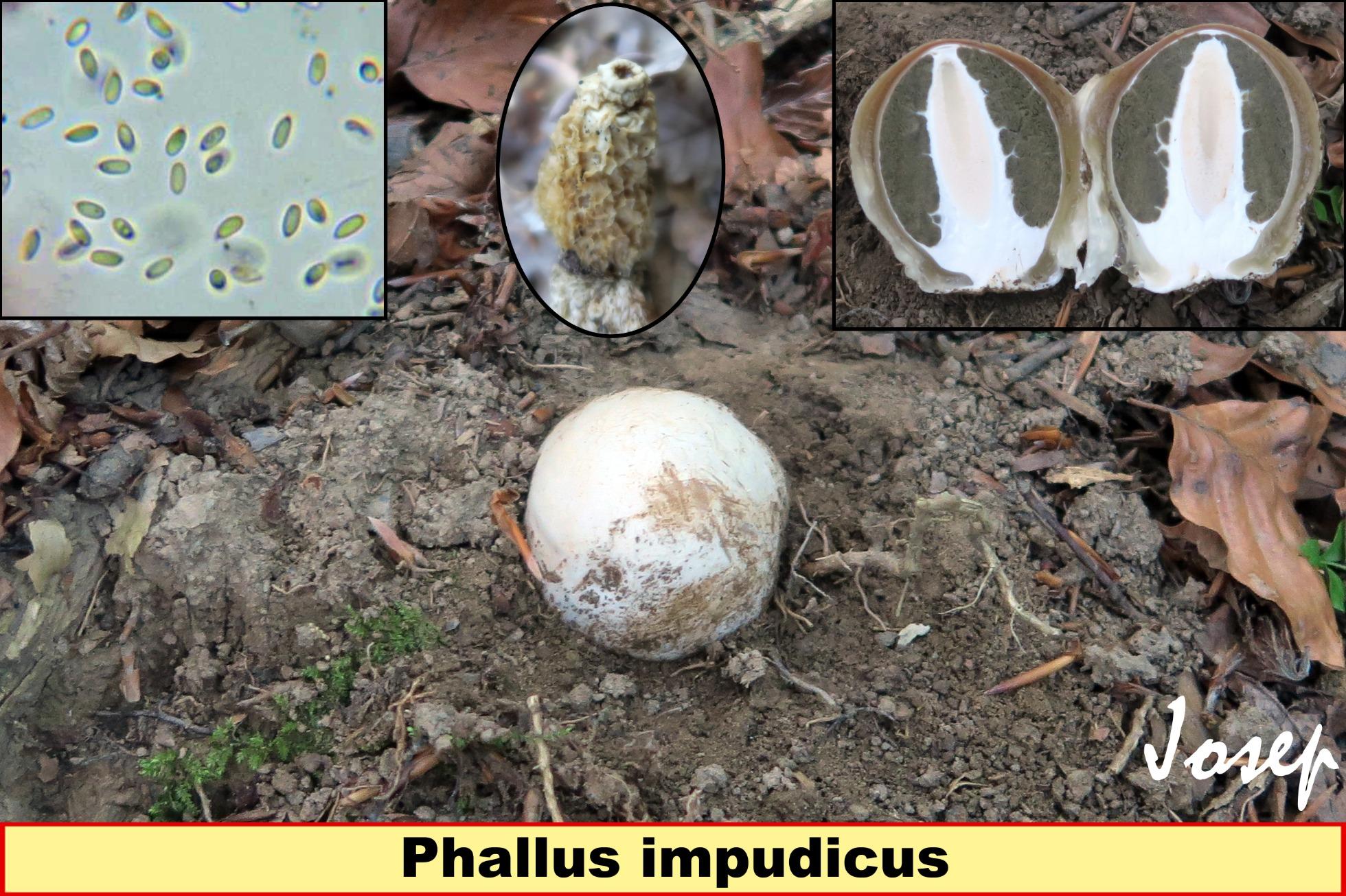 Phallusimpudicus_2018-11-26.jpg
