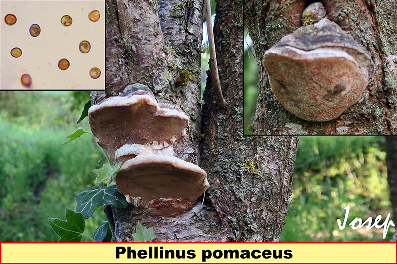 Phellinuspomaceus_2021-01-29.jpg
