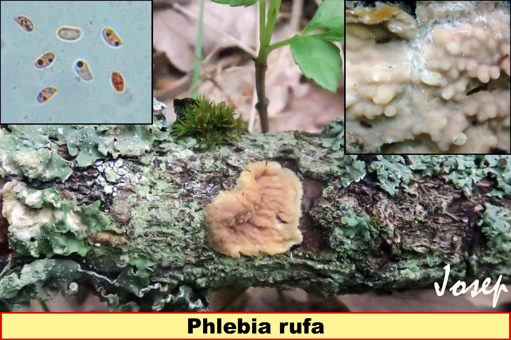 Phlebiarufa_2018-01-15.jpg