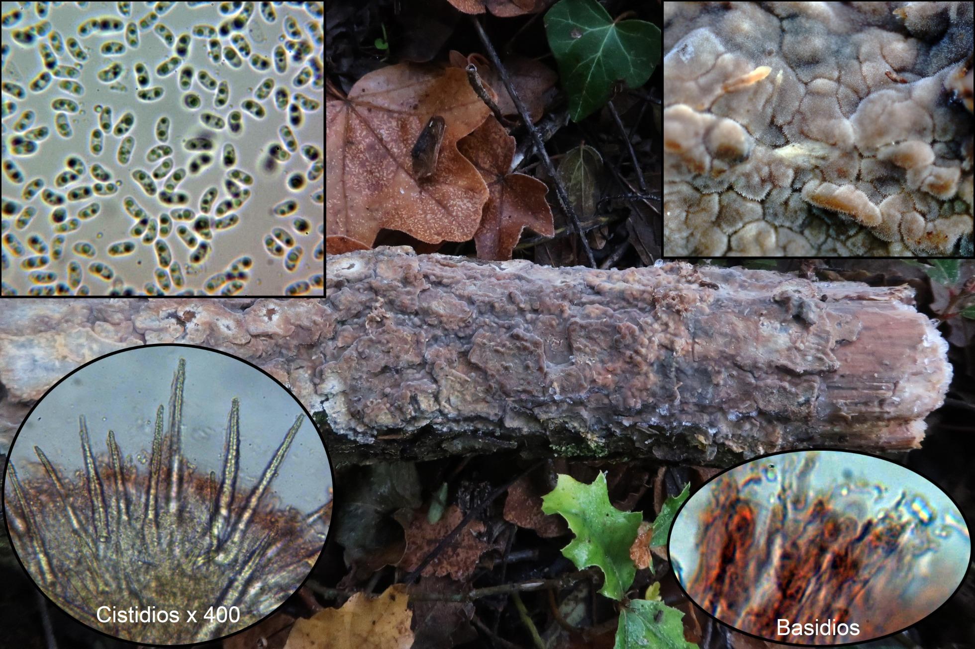 Phlebiopsiscrassap.jpg