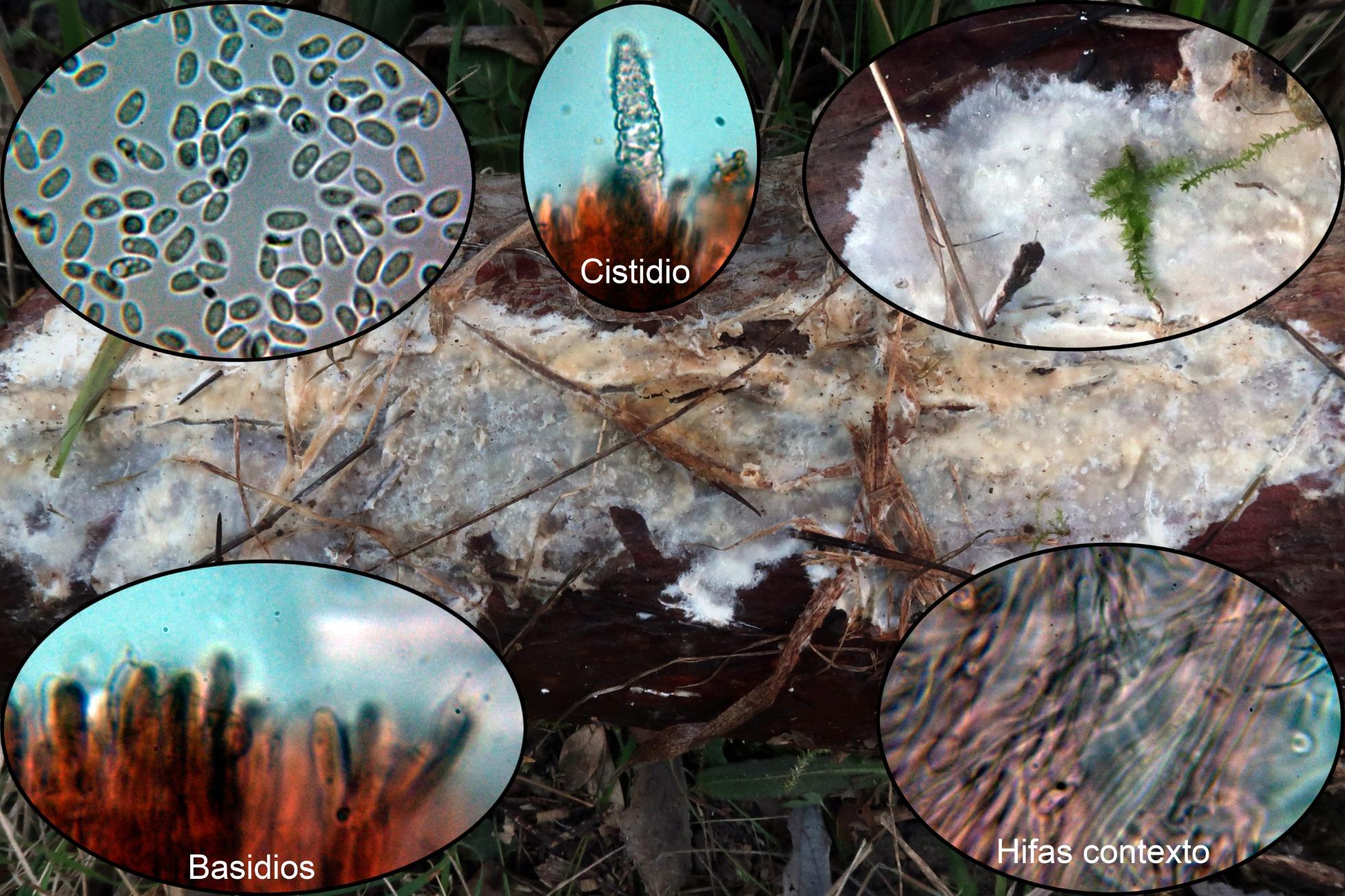 Phlebiopsisgiganteap.jpg