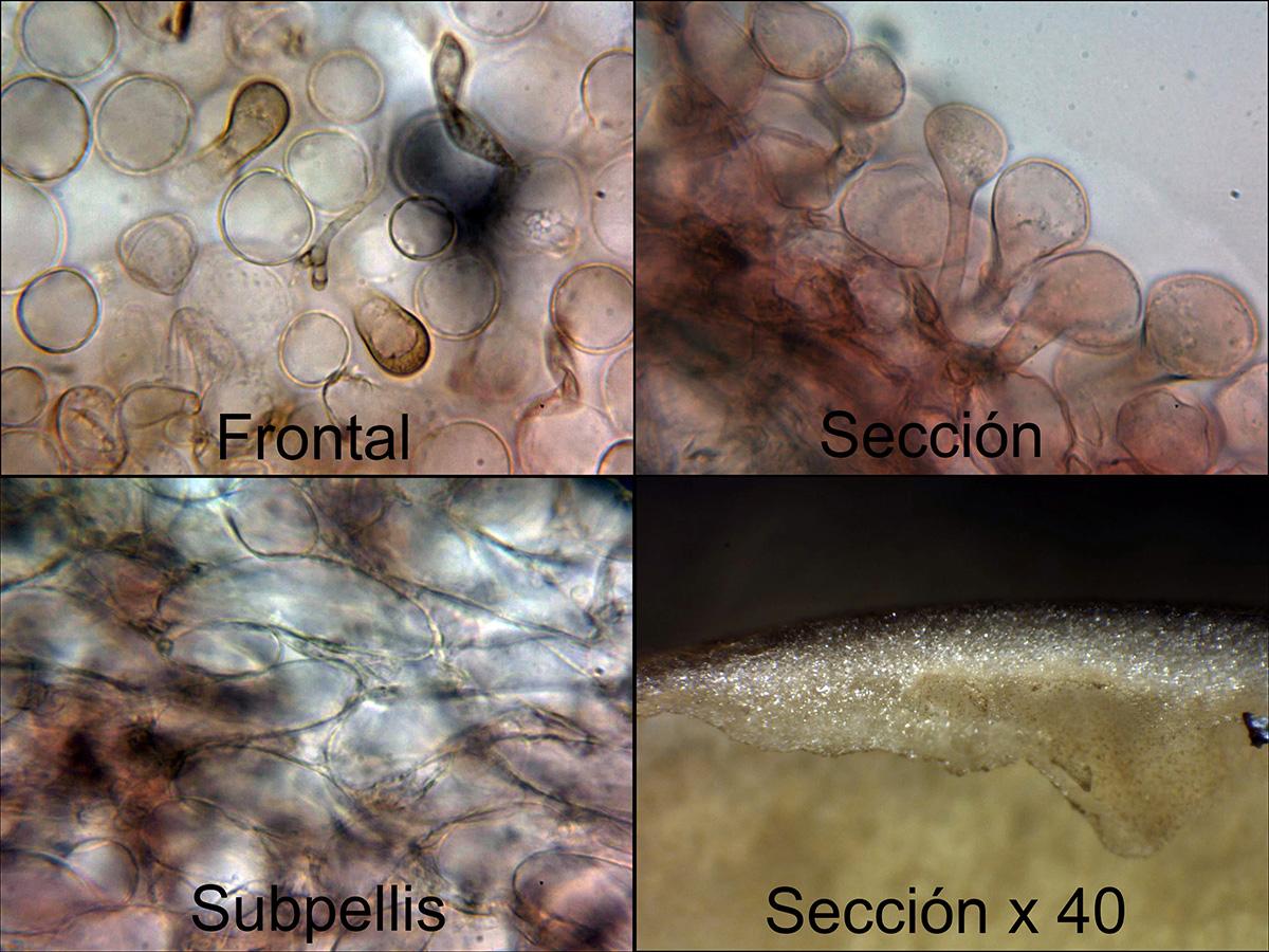 PholiotinadasypusPileipellis.jpg