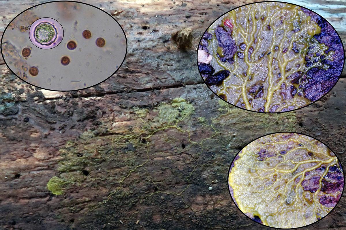 Physarumpolycephalum.jpg