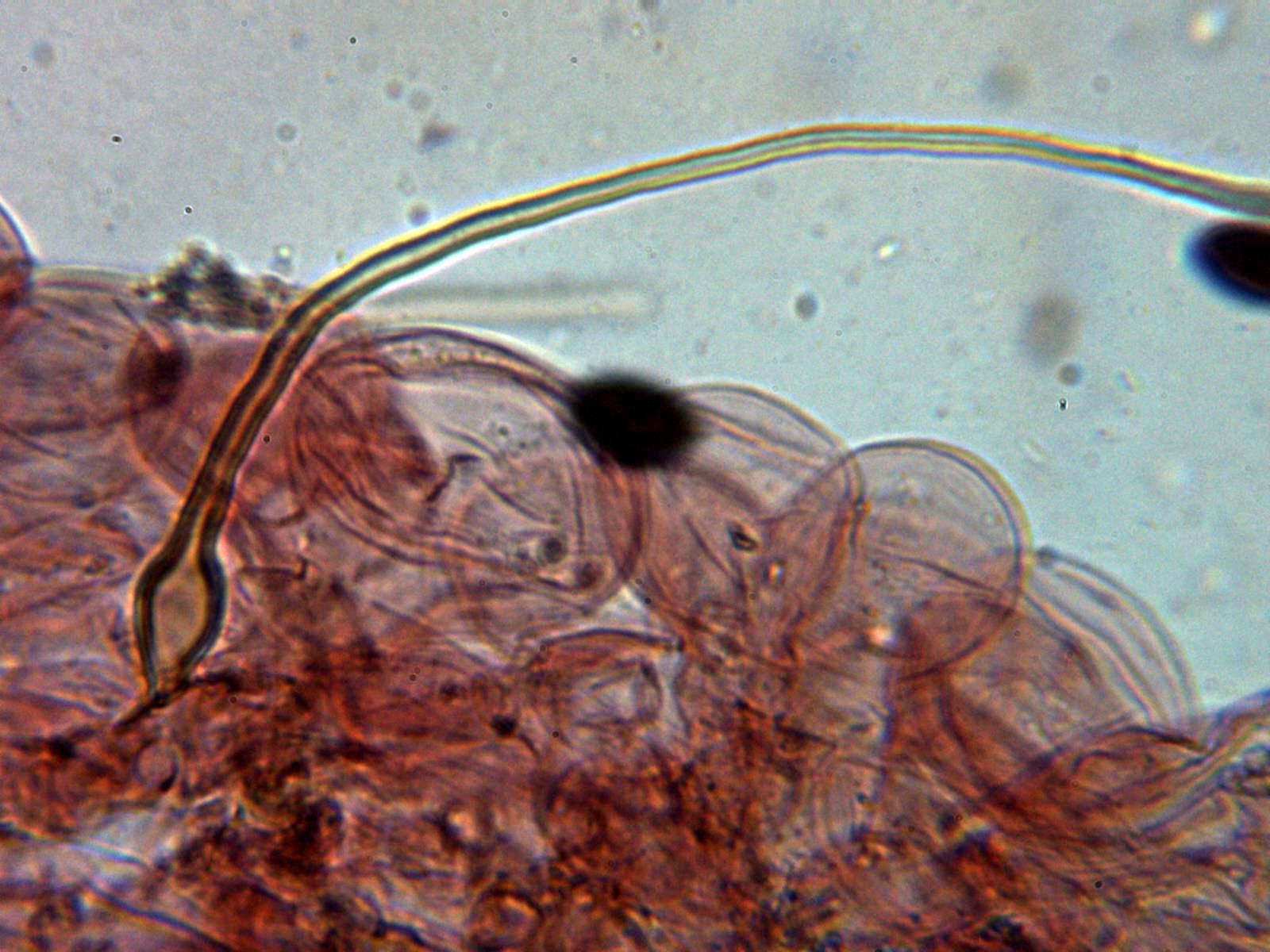 Pileipellis2_2020-09-26.jpg