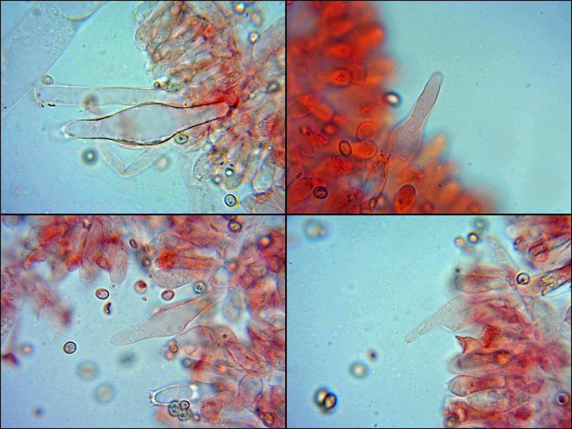 Pleurocistidiosyqueilocistidios.jpg