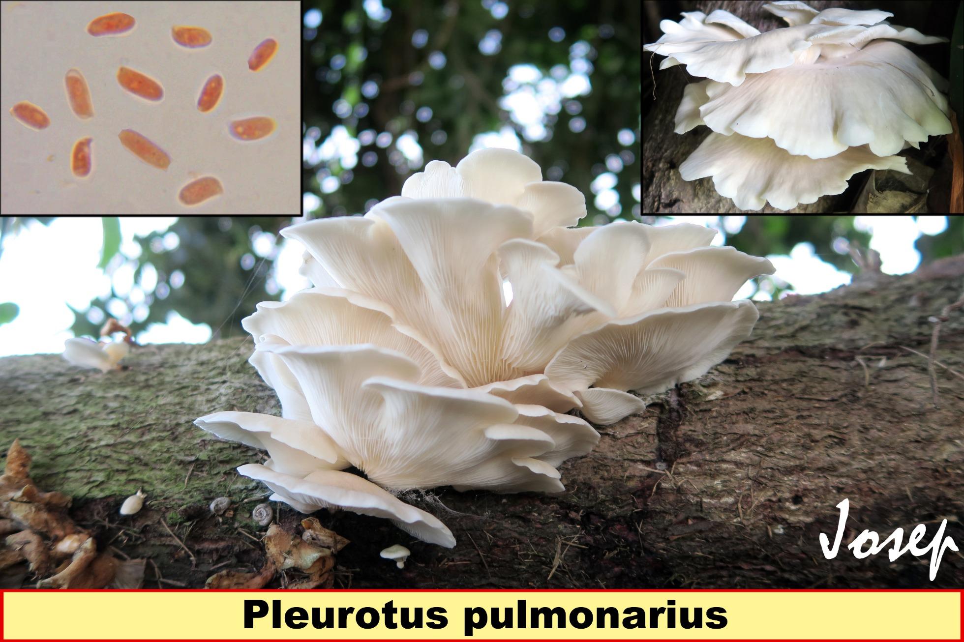 Pleurotuspulmonarius_2019-08-08.jpg