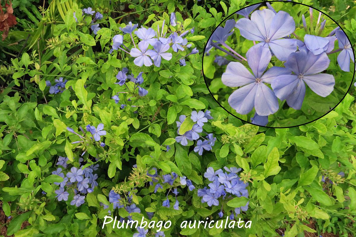 Plumbagoauriculata.jpg