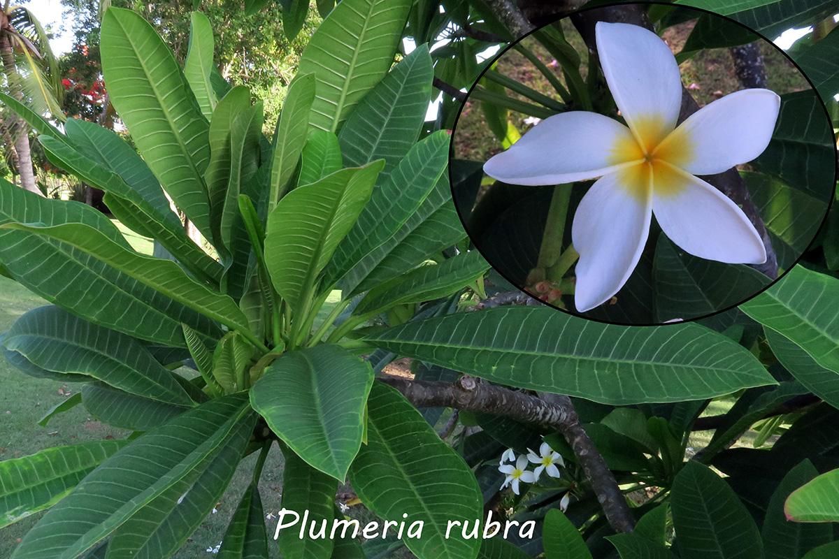 Plumeriarubra.jpg