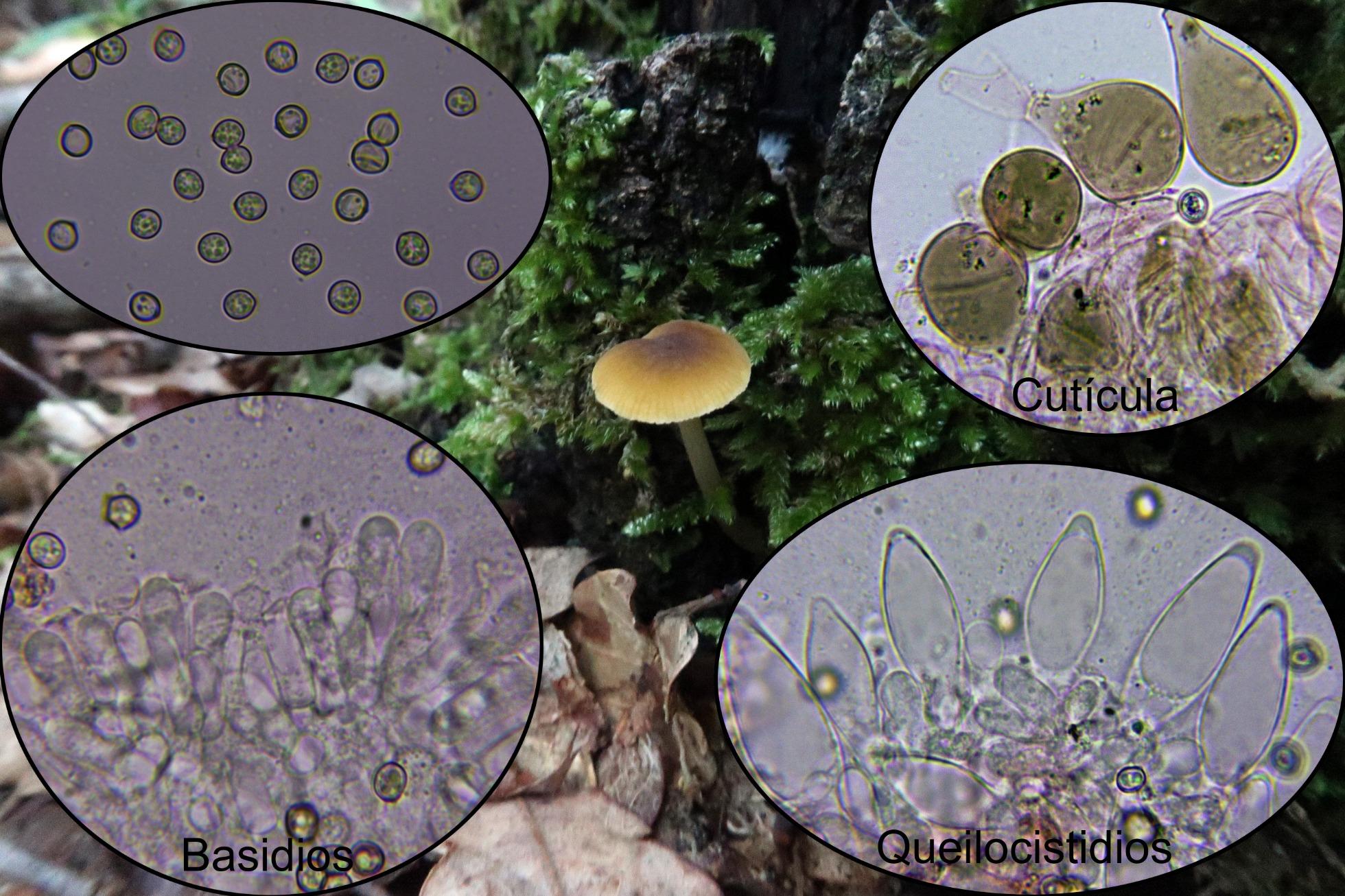 Pluteuschrysophaeusmicro.jpg
