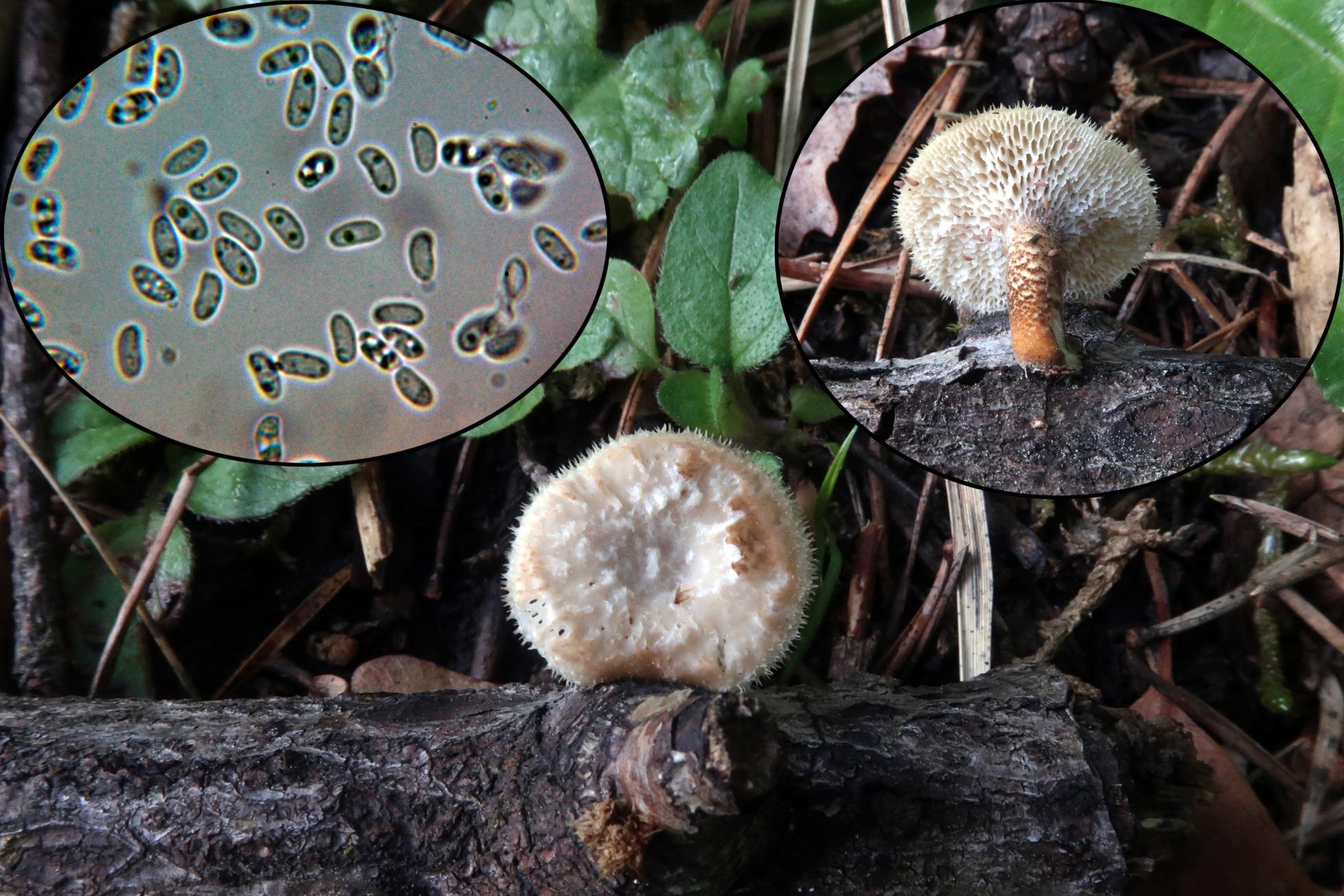 Polyporusarculariusp_2021-06-13.jpg