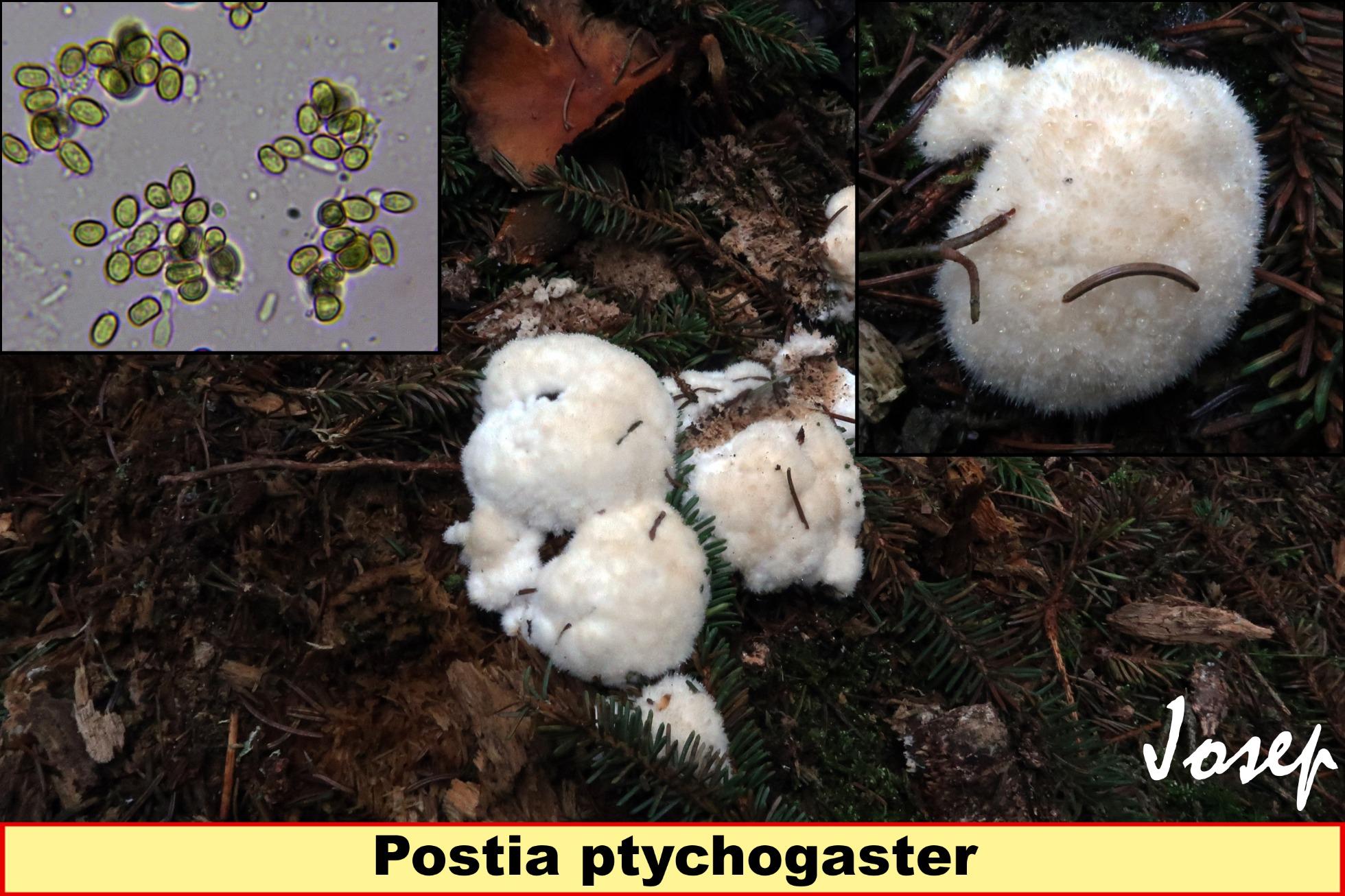 Postiaptychogaster.jpg