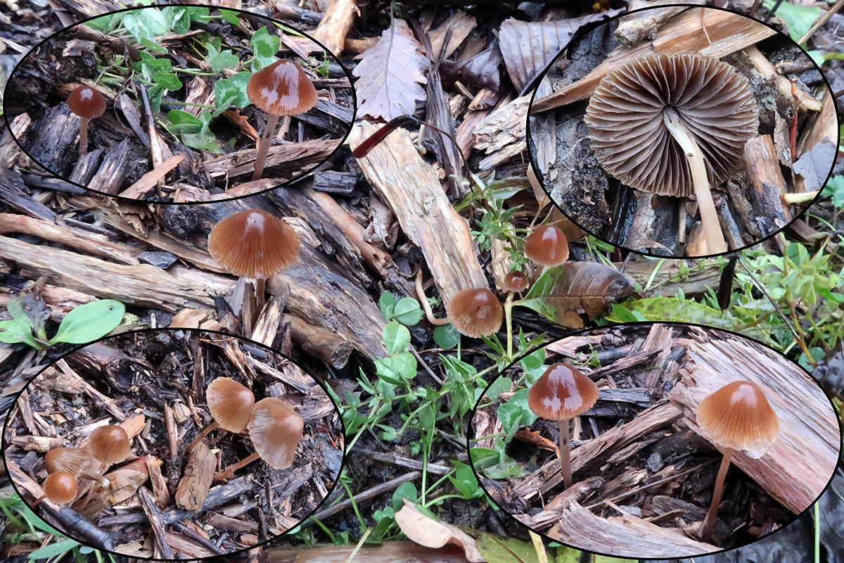 Psathyrellacorrugisfgracilisp.jpg