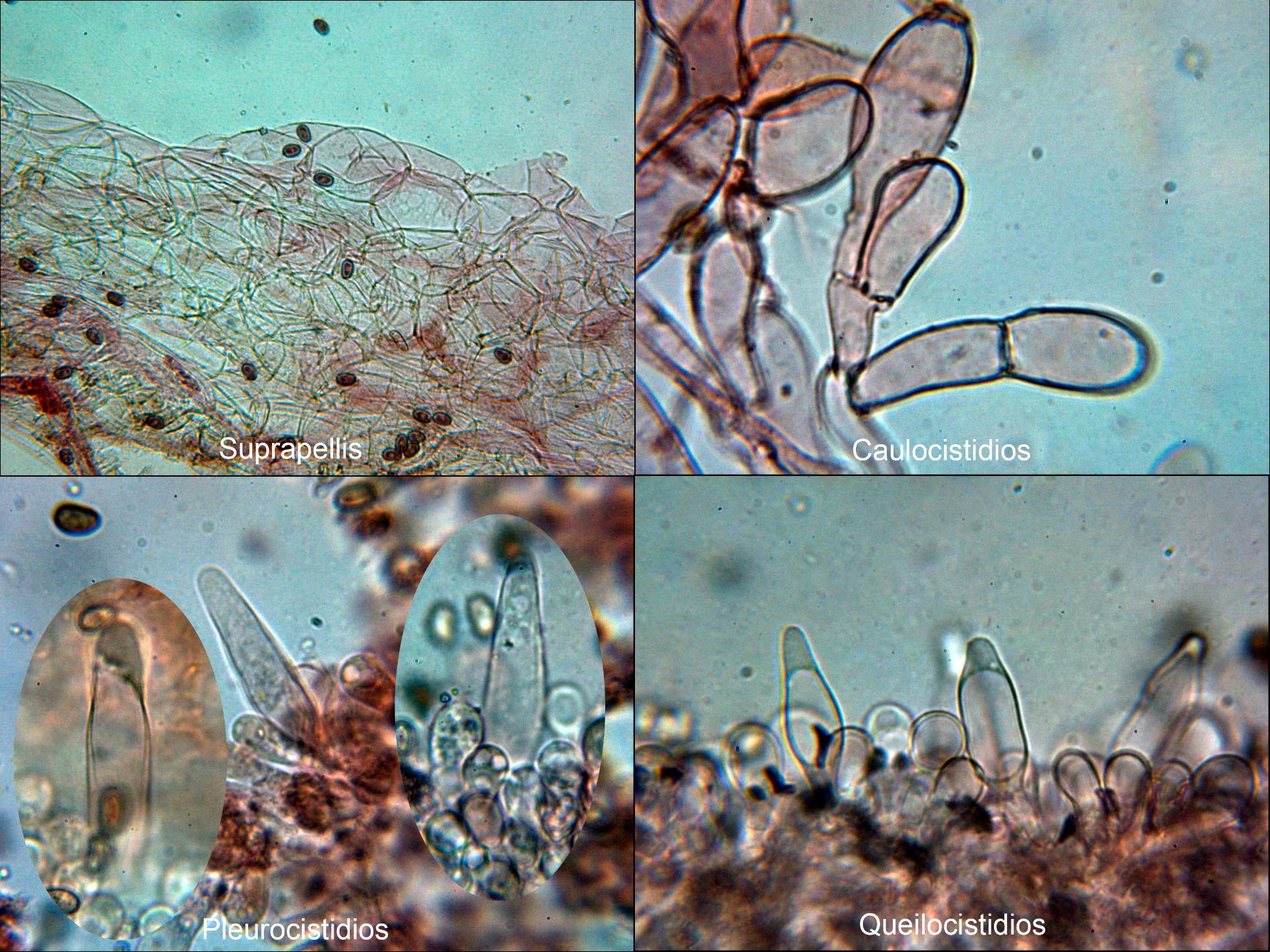 Psathyrellaobtusatamicro_2021-08-10-2.jpg