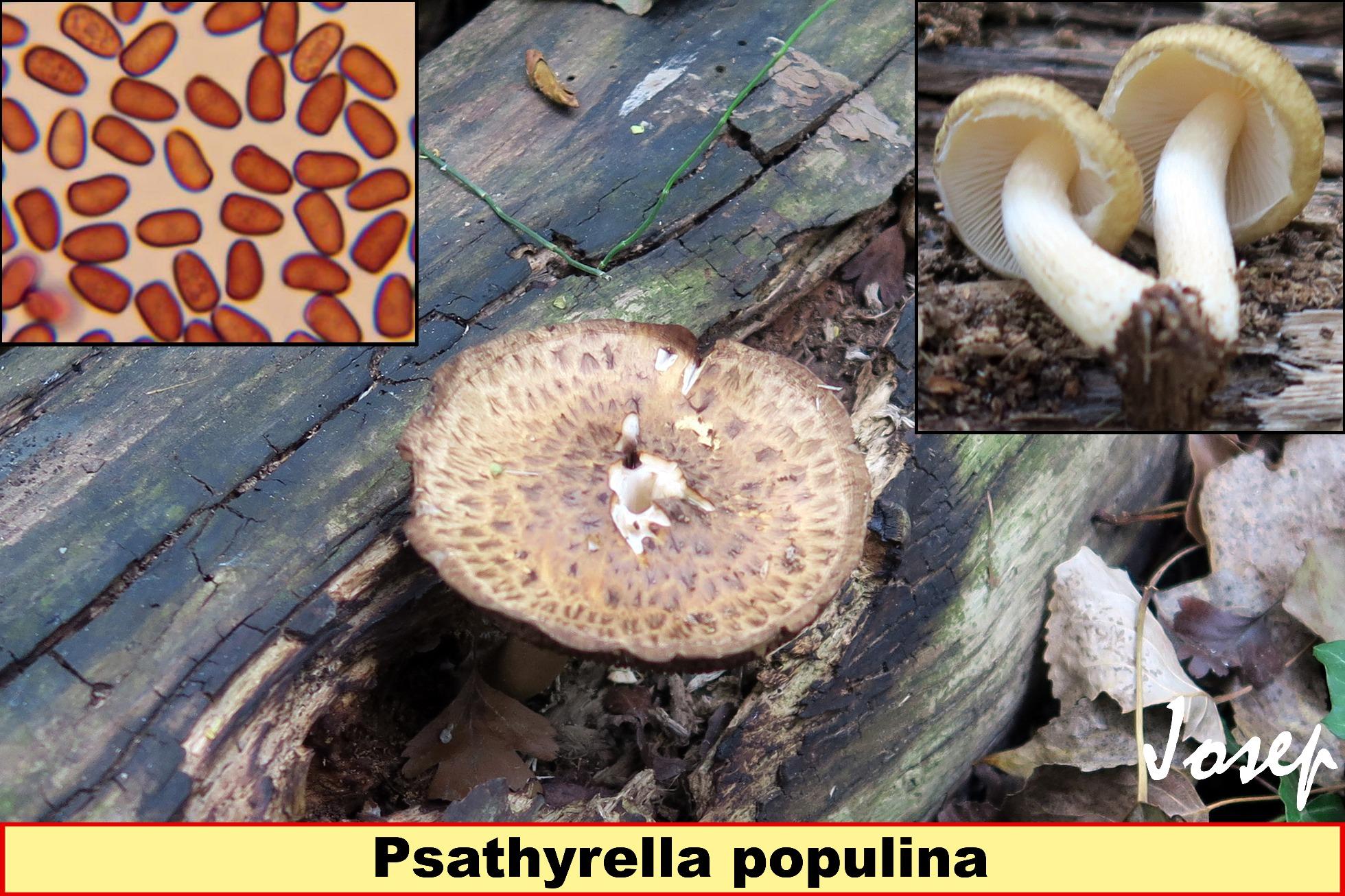 Psathyrellapopulina.jpg