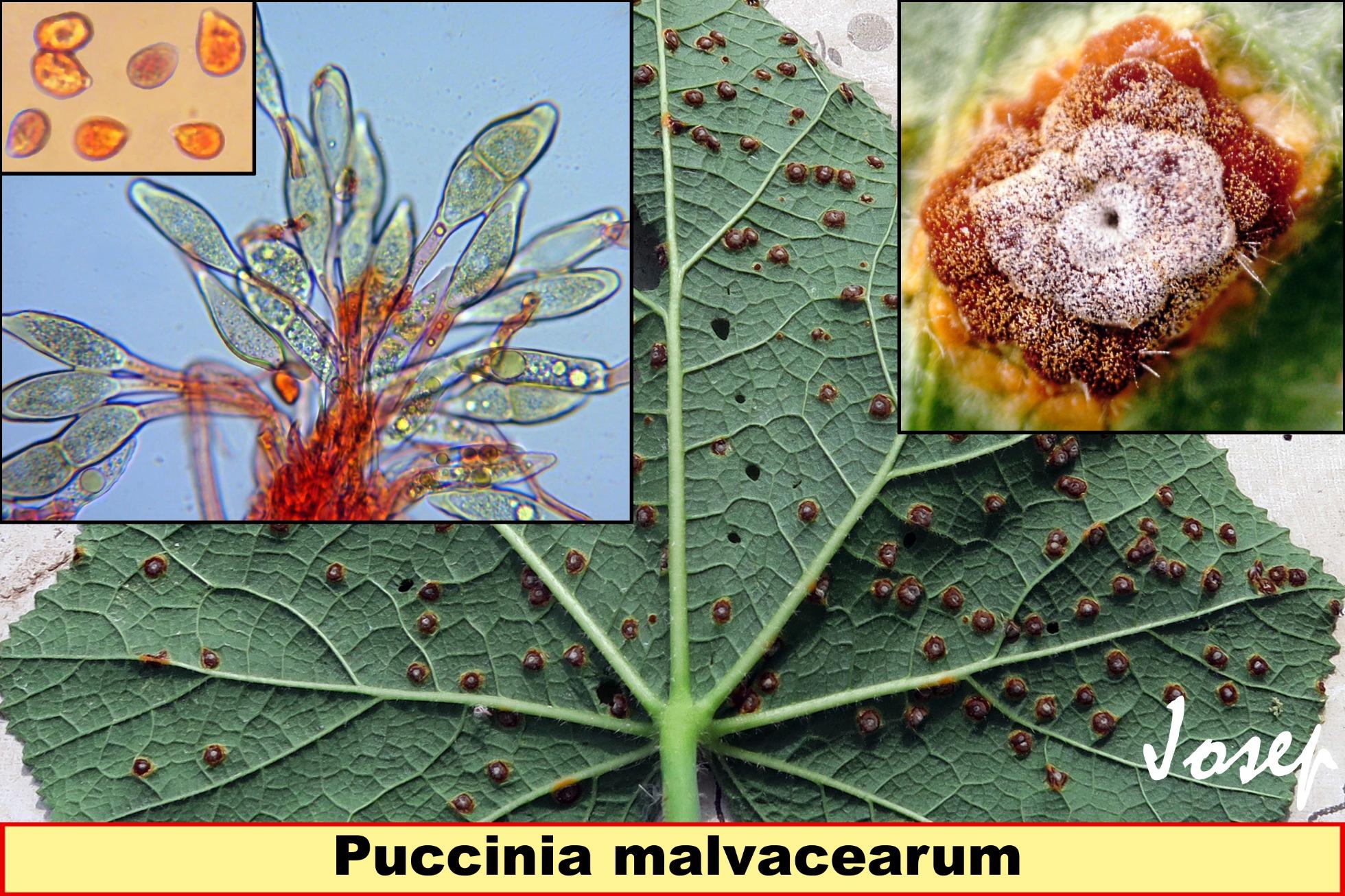 Pucciniamalvacearum_2020-03-01.jpg