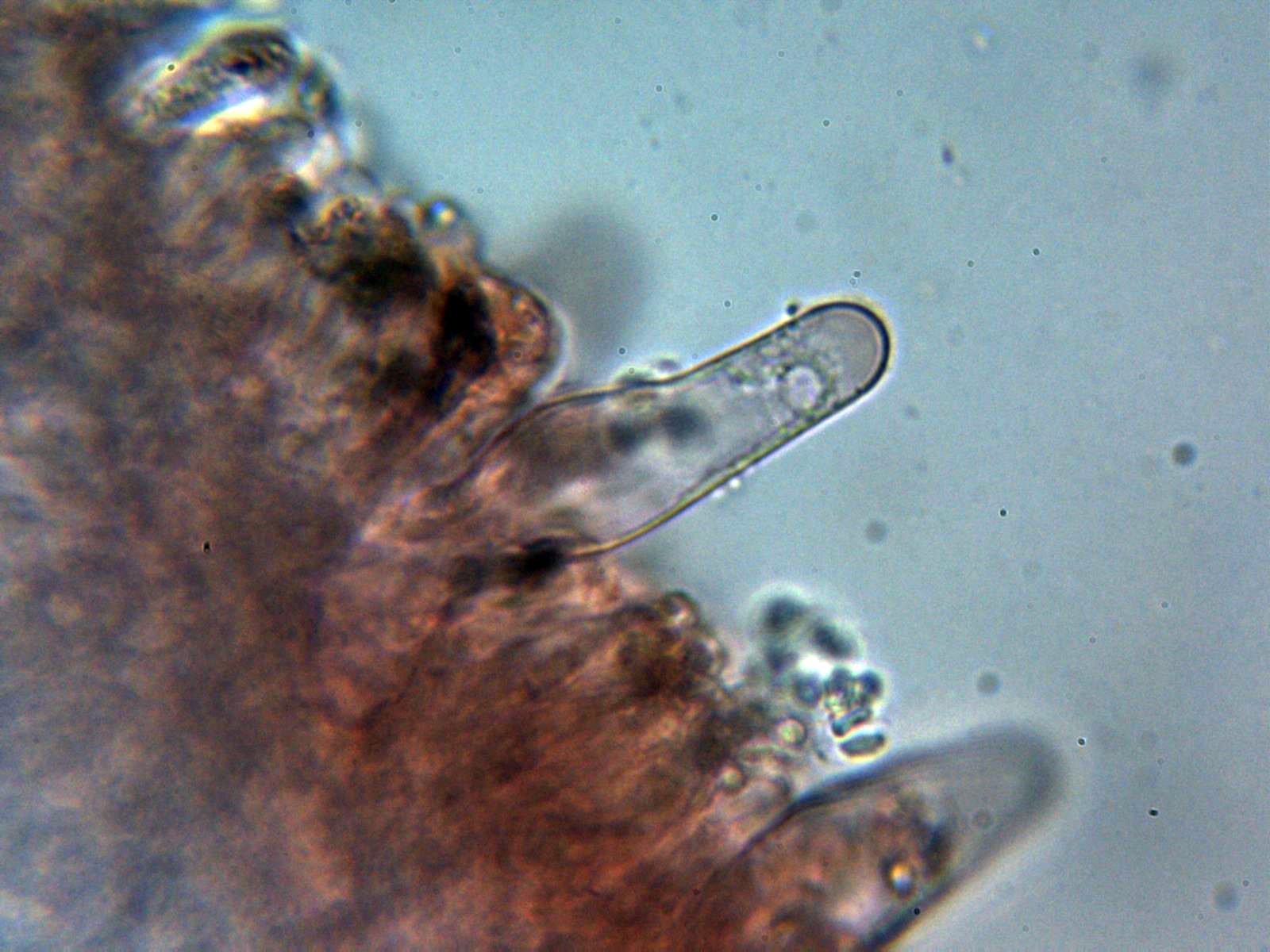 Queilocistidio3_2020-12-30.jpg