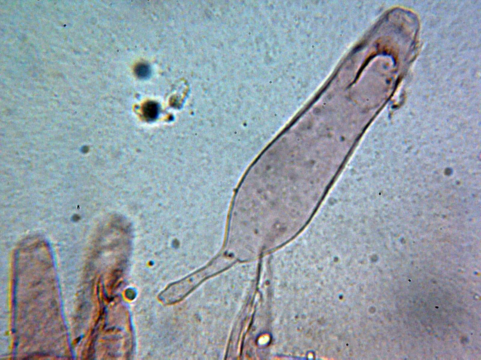 Queilocistidio_2021-01-21.jpg