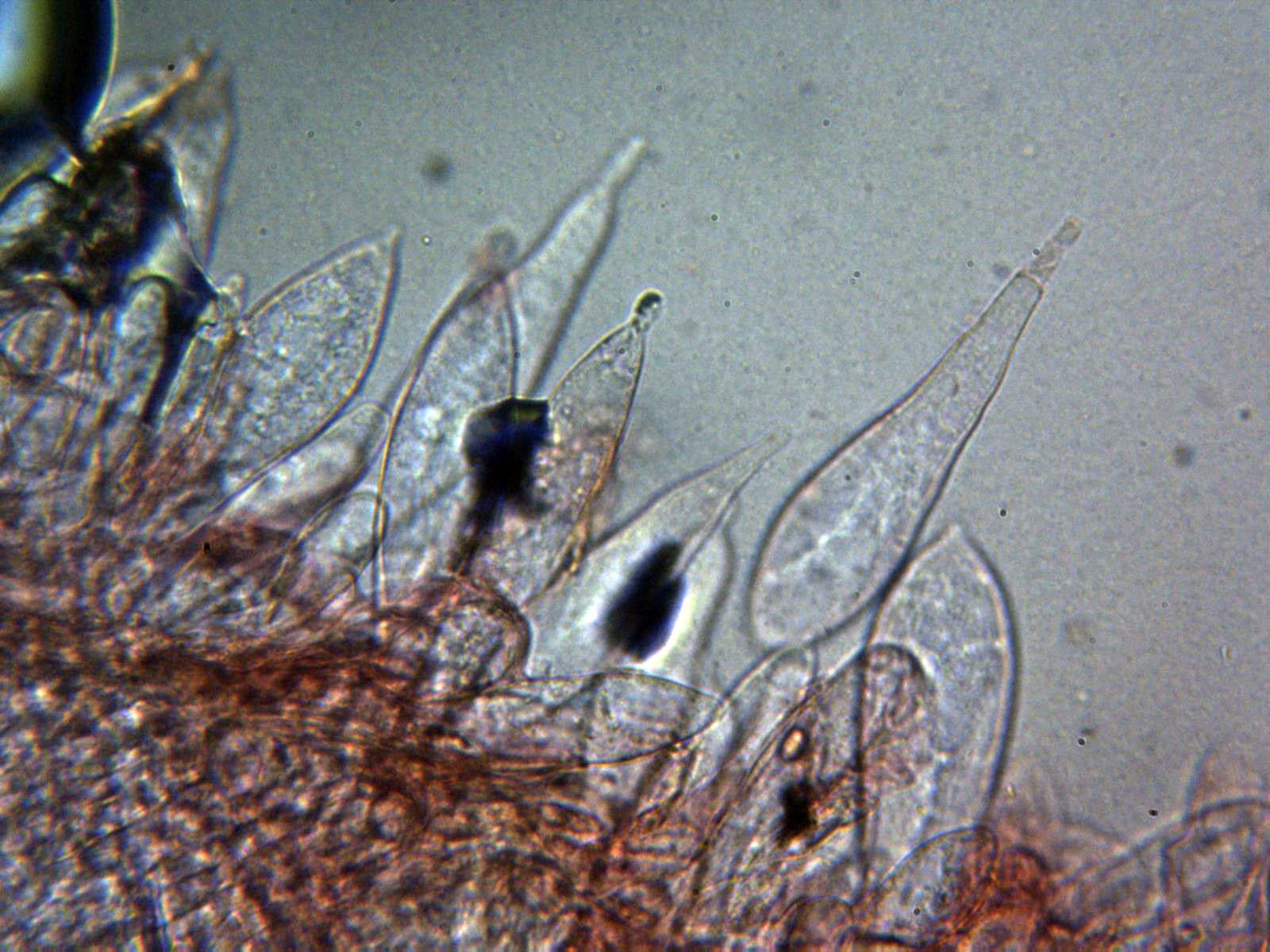 Queilocistidiosx400_2020-11-23.jpg