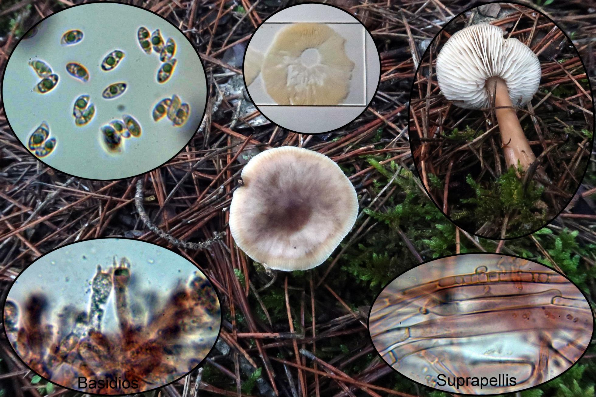 Rhodocollybiabutyraceap_2020-11-16.jpg