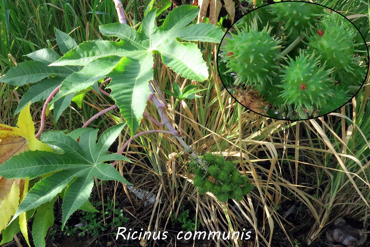 Ricinuscommunis.jpg