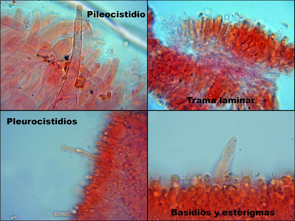 RickenellafibulaMicroscopa.jpg