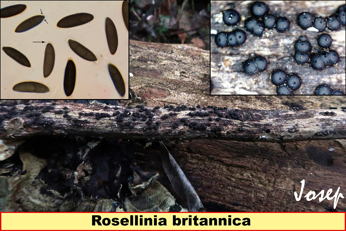 Roselliniabritannica.jpg
