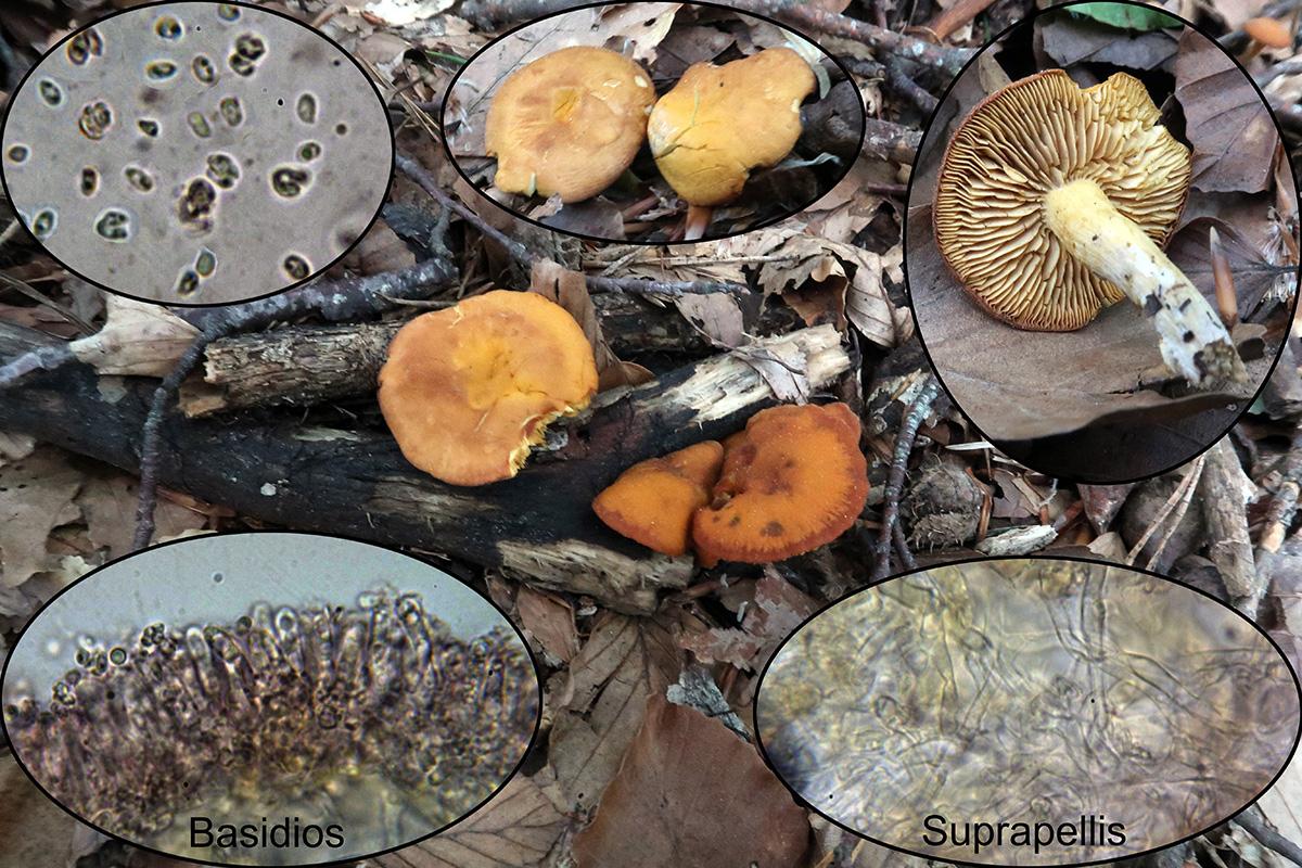 Rugosomyceschrysenteron2.jpg