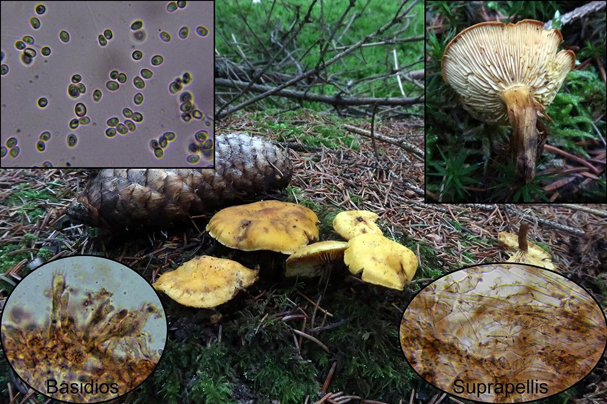 Rugosomyceschrysenteronp.jpg