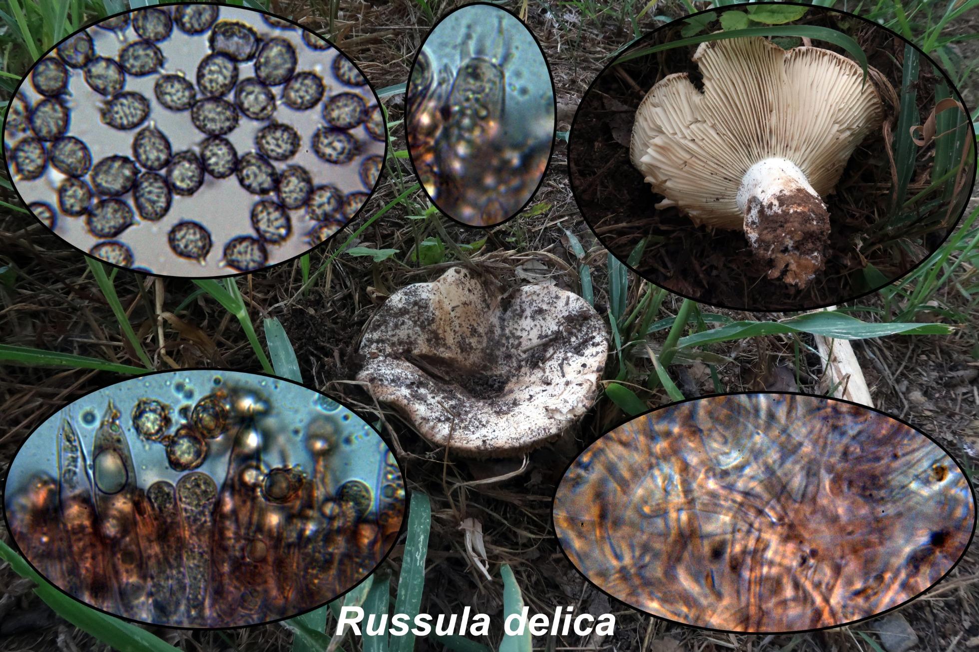 Russuladelica_2020-11-16.jpg