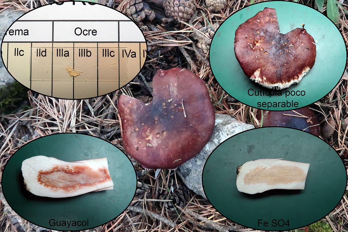 Russulatorulosa1.jpg
