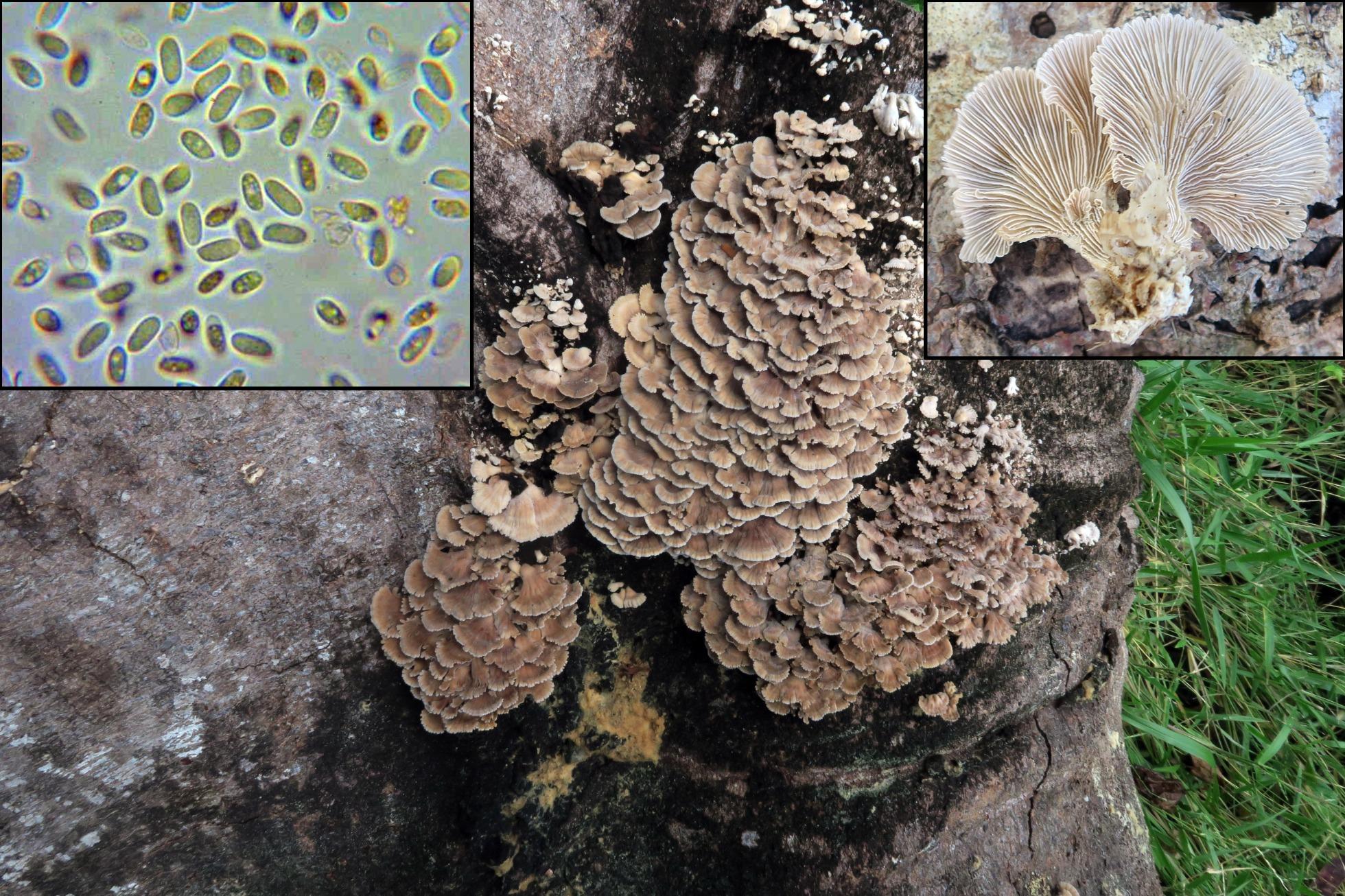 Schizophyllumcommunef.jpg