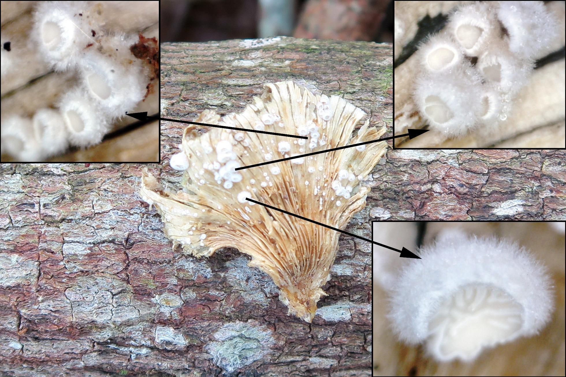 Schizophyllumcommunejovensobrehimenio.jpg