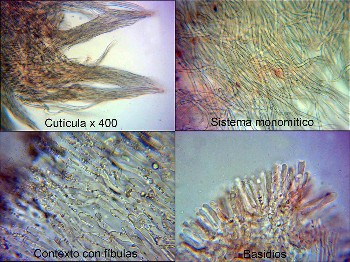 Schizophyllumcommunemicro.jpg