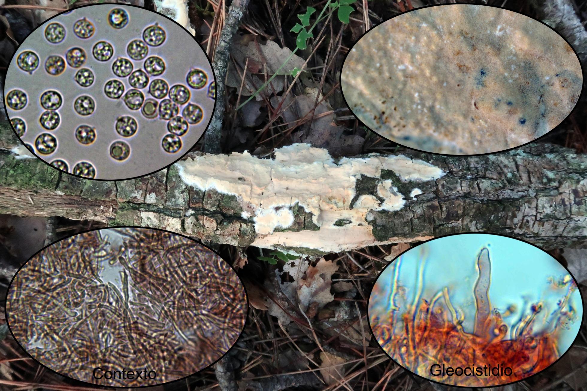 Scytinostromaportentosum2.jpg