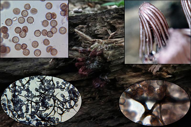 Stemonitisfuscavarrufescensp.jpg