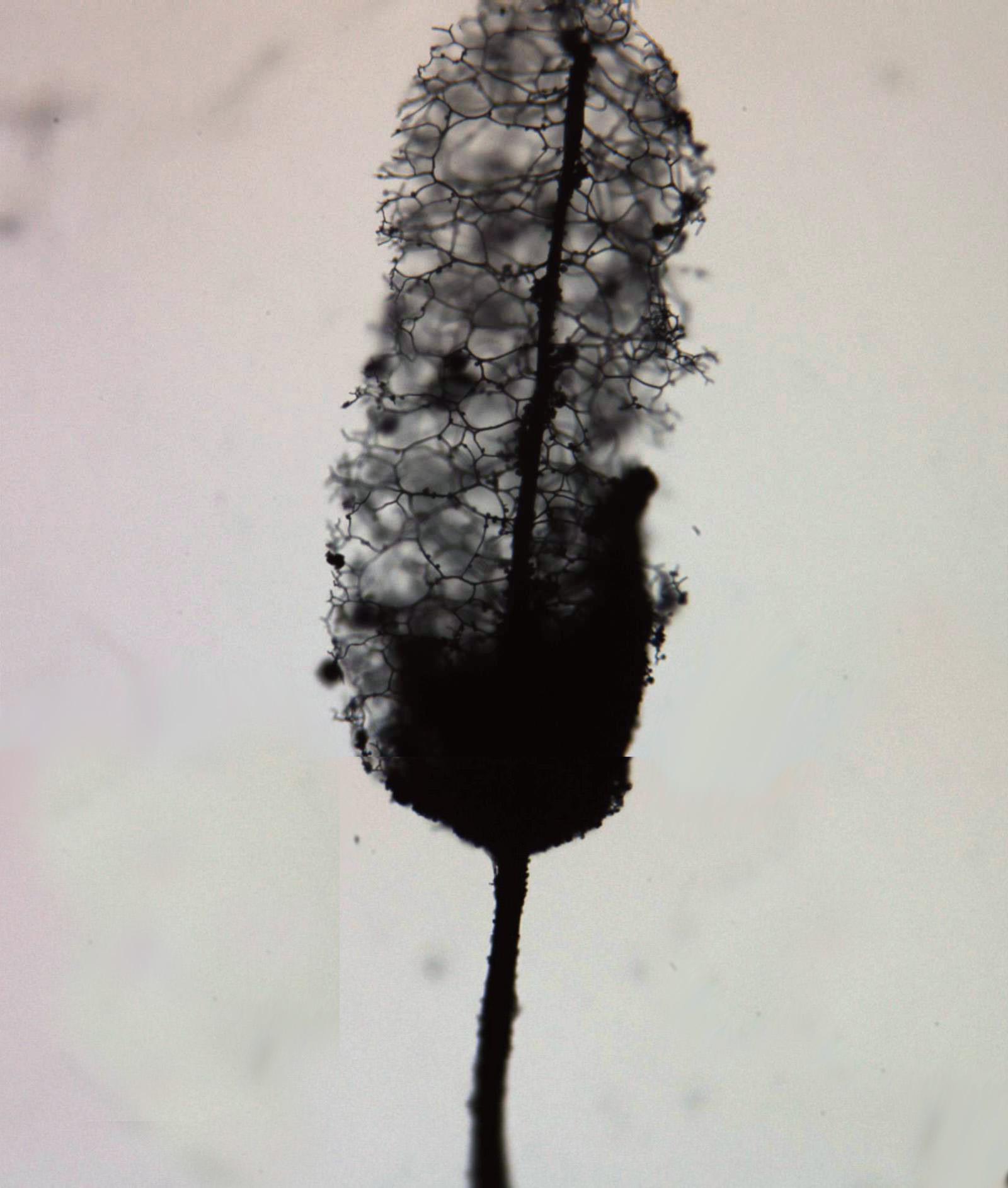 StemonitopsishyperoptaComposicion.jpg
