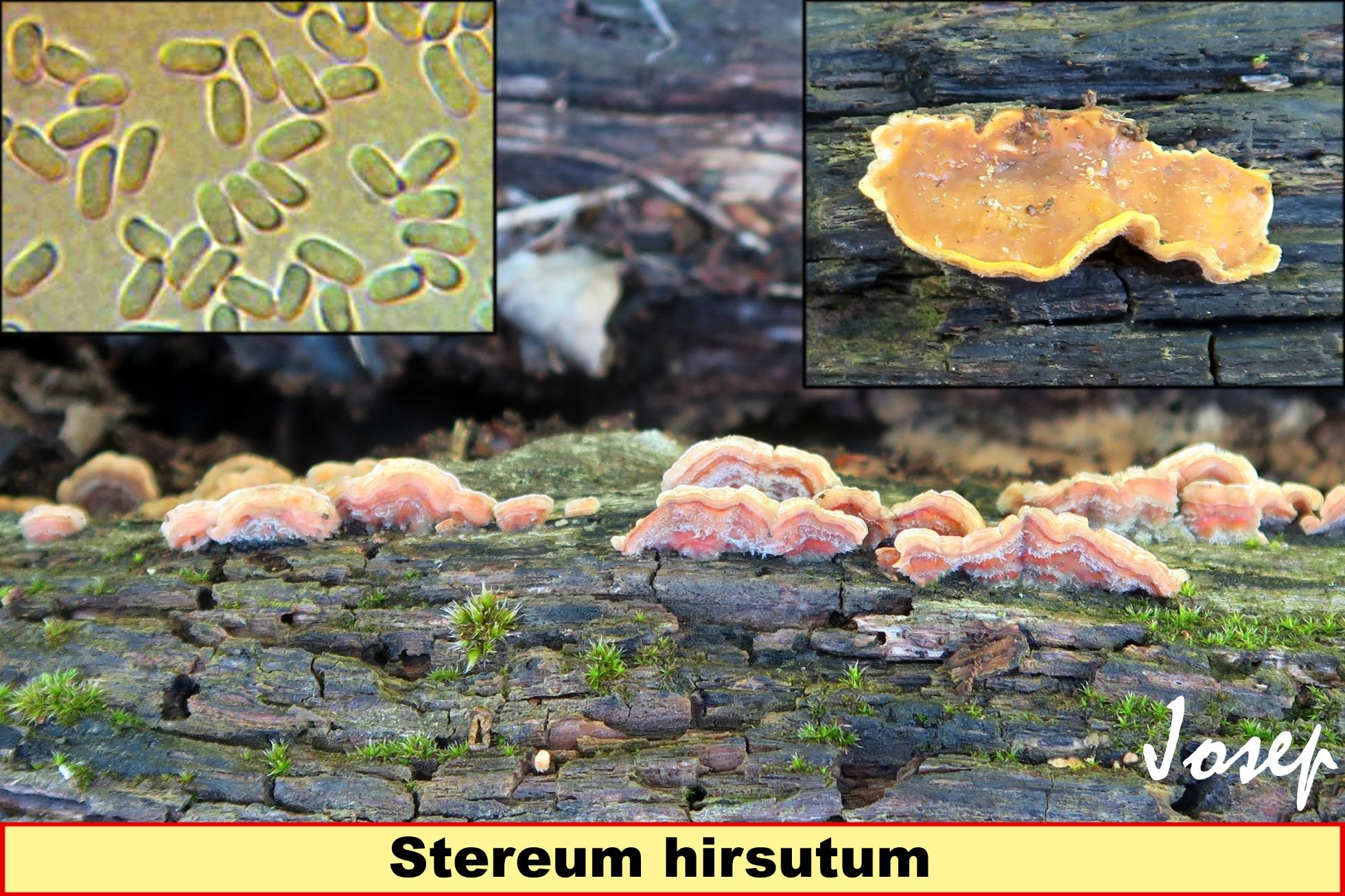 Stereumhirsutum20.jpg