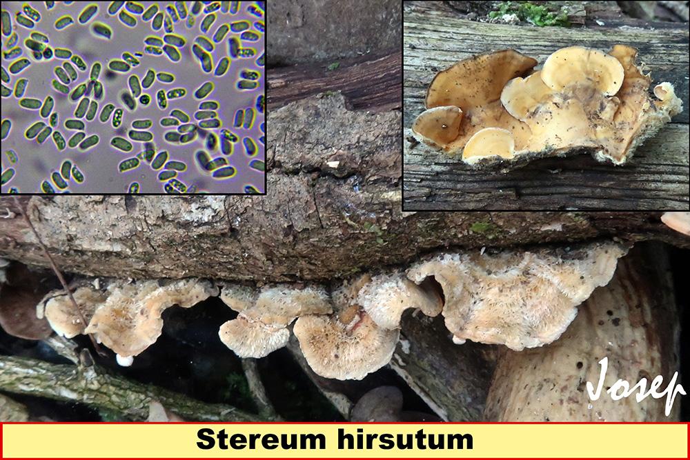 Stereumhirsutum_2019-11-15.jpg
