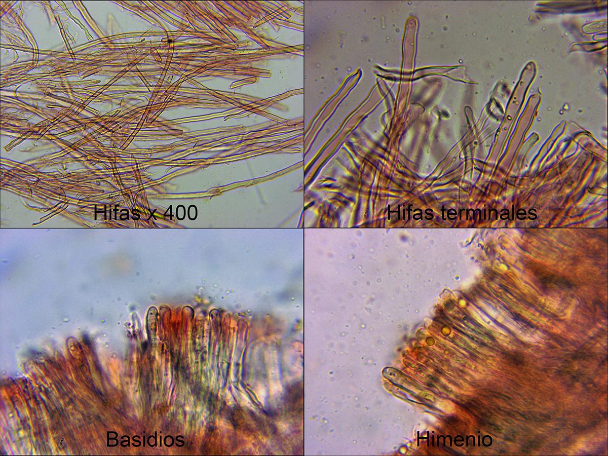 Stereumochraceo-flavummicro.jpg