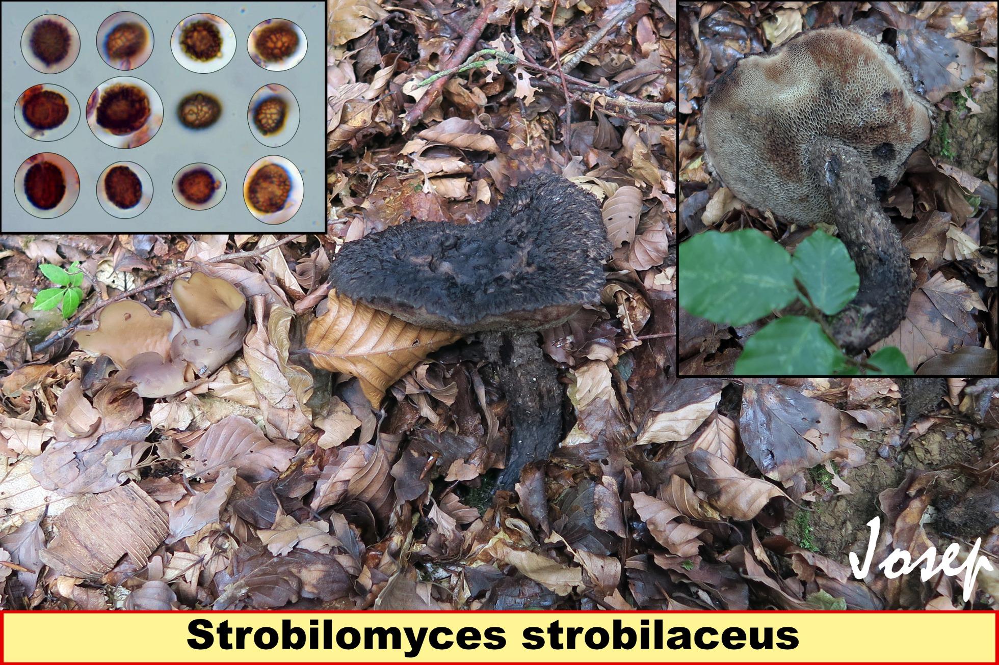 Strobilomycesstrobilaceus_2018-10-15.jpg