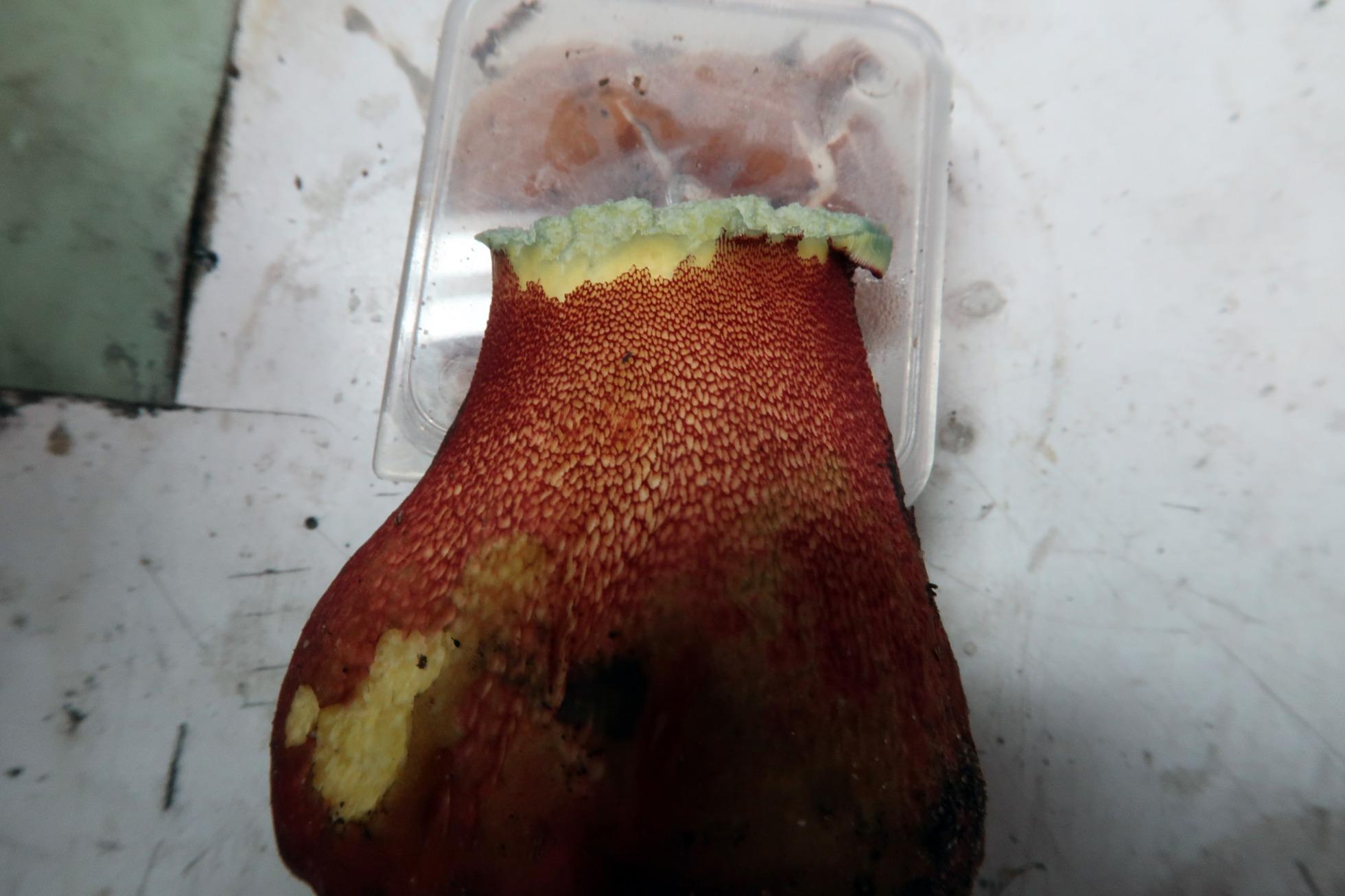 Suillellusrhodoxanthuspi.JPG