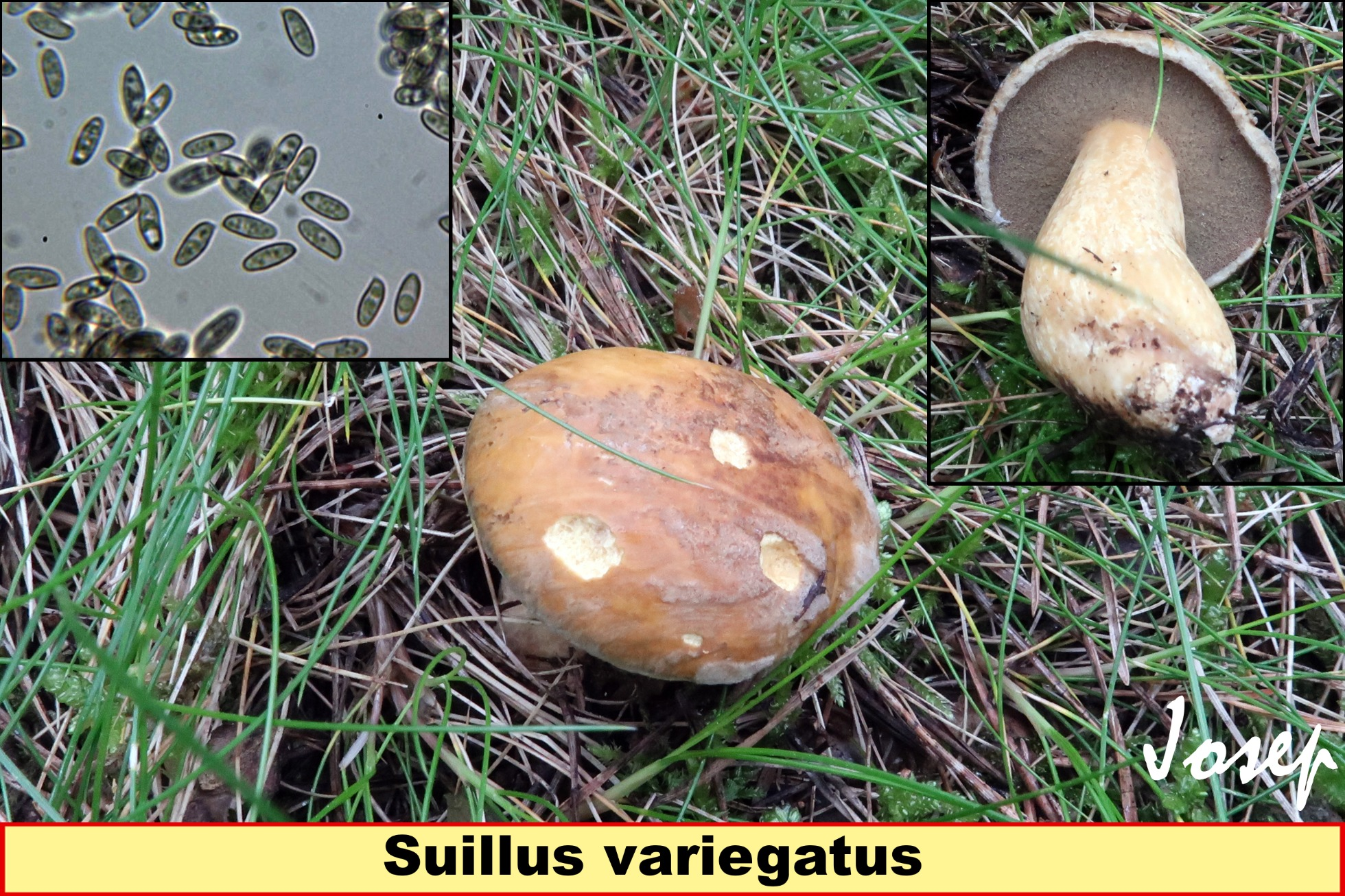 Suillusvariegatus_2021-06-28.jpg