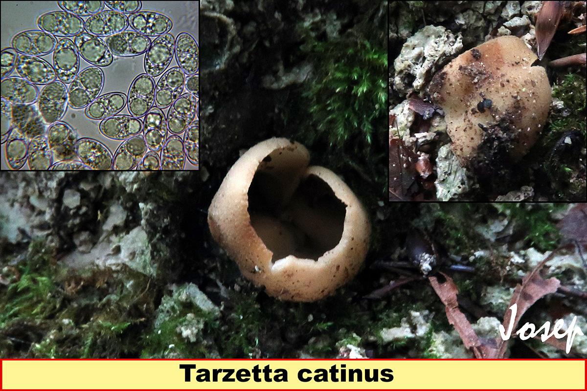 Tarzettacatinus.jpg