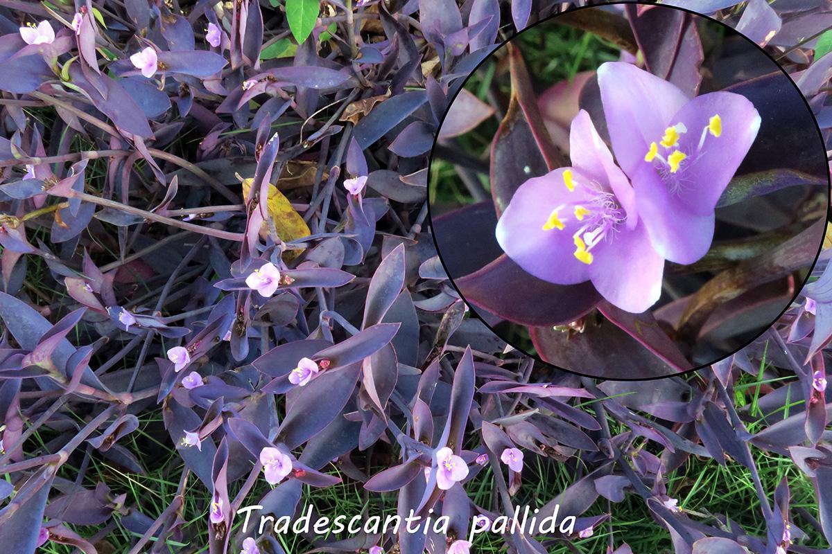 Tradescantiapallida.jpg