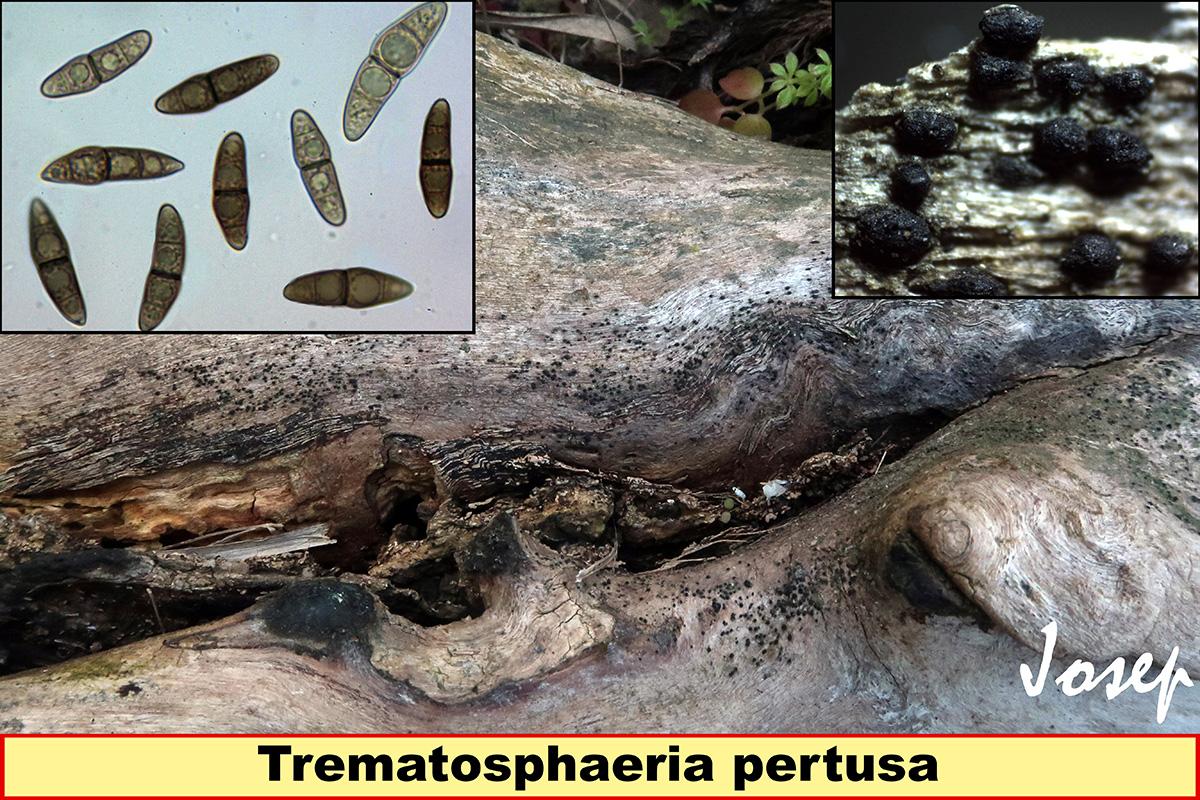 Trematosphaeriapertusa.jpg