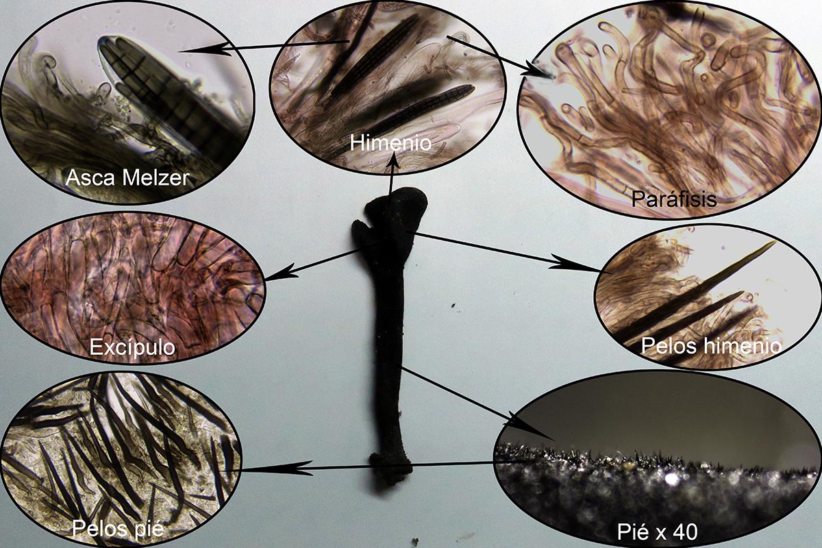 Trichoglossumhirsutummicro.jpg