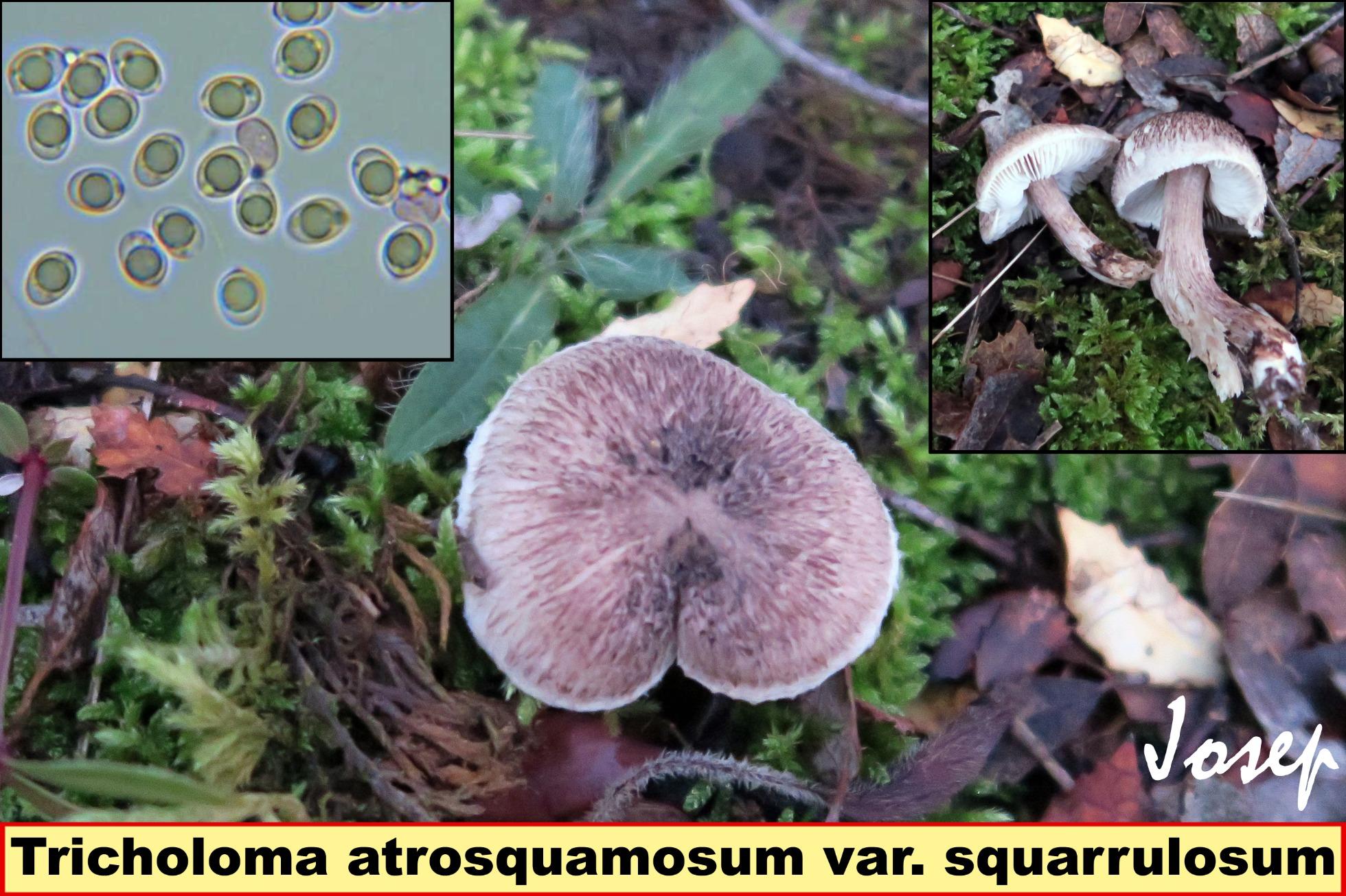 Tricholomaatrosquamosumvar.squarrulosum_2020-11-26.jpg